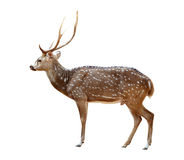 Male axis deer isolated Stock Image