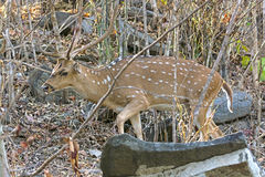 Male Axis Deer Walking Through the Forest. In Kanha National Park in India Royalty Free Stock Photos