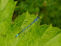 Male Azure Damselfly Royalty Free Stock Photography