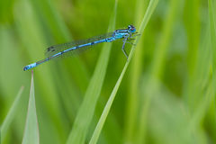 Male azure damselfly. Male of the common blue azure damselfly on perch, Germany Royalty Free Stock Photo