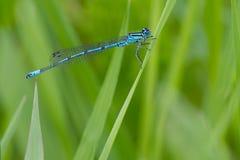 Male azure damselfly Royalty Free Stock Photo