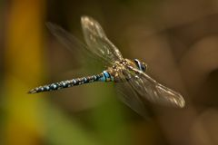 Male azure hawker dragonfly flying through undergrowth Royalty Free Stock Photos