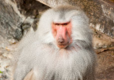 Male baboon Royalty Free Stock Photography