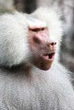 Male Baboon Royalty Free Stock Images