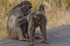 Male baboon grooming female. Alfa male chacma baboon grooming the female Stock Photo