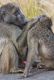 Male baboon grooming female Royalty Free Stock Photos