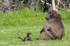 Male baboon and his baby offspring. Adult male chacma baboon watching out over his baby son Royalty Free Stock Photo