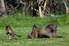 Male baboon and his baby offspring. Infant baboon running away from a big adult male Royalty Free Stock Photos