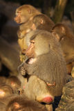 Male baboon holding baby animals close Stock Photography