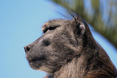 Male baboon Royalty Free Stock Photo