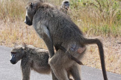 Male baboon mating female Stock Images