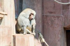 Male baboon monkey Stock Photos