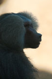 Male baboon profile. Male baboon head from profile stock images