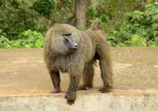 Male baboon at Serengeti National Park Stock Images