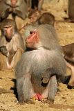 Male baboon sitting on the ground Stock Photos