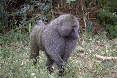 Male Baboon strutting royalty free stock image