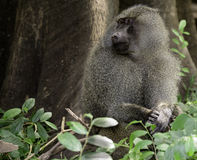 Male Baboon, Tanzania Stock Photos
