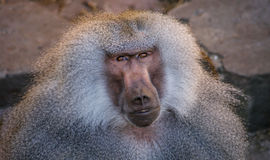 Male Baboon. Watching Hamadryas Male baboon from Copenhagen zoo stock photos