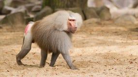 male baboonhamadryas Arkivfoto