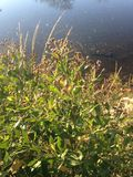 Male Baccharis Halimifolia Plants in the Sun near a Pond in the Fall. Stock Images
