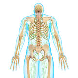 Male back view Lymphatic system with skeleton Stock Photography