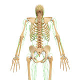 Male back view Lymphatic system with skeleton Royalty Free Stock Images