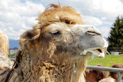 Male Bactrian camel is ready to mate Stock Images