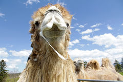 Male Bactrian camel is ready to mate Stock Photos