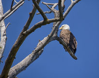 Male Bald Eagle Royalty Free Stock Images