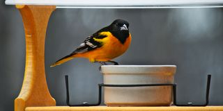 A male Baltimore Oriole in breeding plumage visits a bird feeder in Minnesota stock images