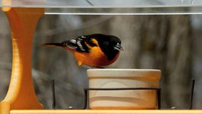 A male Baltimore Oriole in breeding plumage visits a bird feeder in Minnesota