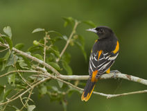 Male Baltimore Oriole. Icterus galbula perched on a branch in a Costa Rican rainforest. The Baltimore Oriole Icterus galbula is a small icterid blackbird stock photo