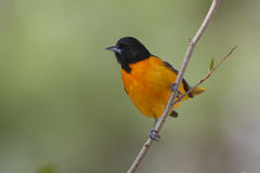 Male Baltimore Oriole Stock Photography