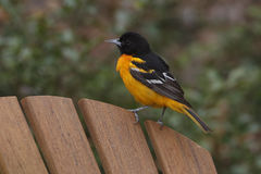 Male Baltimore Oriole royalty free stock photo