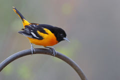 Male Baltimore Oriole Royalty Free Stock Photography