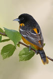Male Baltimore Oriole stock images