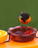 Male Baltimore Oriole (icterus galbula) Stock Photography