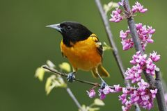 Male Baltimore Oriole perched in a flowering Eastern Redbud Royalty Free Stock Photo