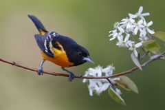 Male Baltimore Oriole perched in a serviceberry tree. Male Baltimore Oriole Icterus galbula perched in a serviceberry tree - Lambton Shores, Ontario, Canada royalty free stock photos