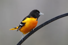 Male Baltimore Oriole Perched on Wrought Iron Royalty Free Stock Photos
