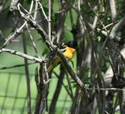 Male Baltimore Oriole #3. This is a Spring picture of an Male Baltimore Oriole perched on a branch in the Montrose Point Bird Sanctuary on a Lake Michigan stock photography