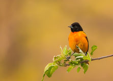 The male Baltimore Oriole. royalty free stock photography
