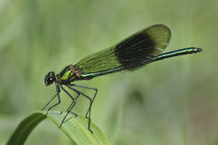 Male Banded Demoiselle Stock Photos