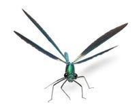 Male Banded Demoiselle, Calopteryx Splendens Royalty Free Stock Photos