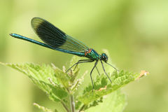 A male Banded Demoiselle Calopteryx splendens perched on a stinging nettle leaf. Royalty Free Stock Image
