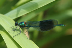 A male Banded Demoiselle dragonfly Calopteryx splendens . Stock Photo