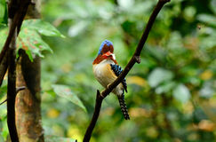 Male banded kingfisher Stock Photo
