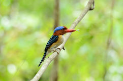 Male banded kingfisher Royalty Free Stock Image
