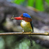 Male Banded Kingfisher Stock Photos