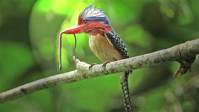 Male Banded Kingfisher (Lacedo pulchella) stock video